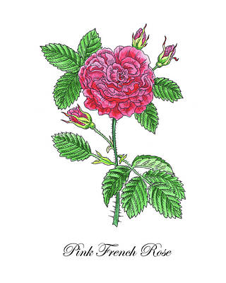 Painting - Botanical Watercolor Of French Rose by Irina Sztukowski