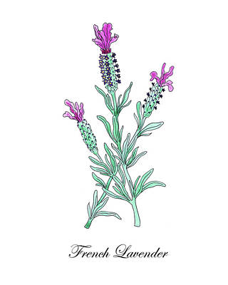 Painting - Botanical Watercolor Of Lavender Flower by Irina Sztukowski