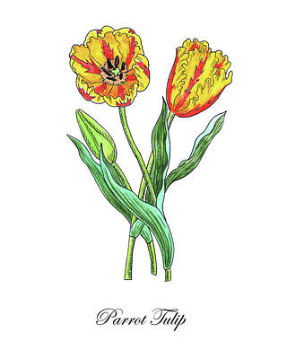 Painting - Botanical Watercolor Of Parrot Tulips by Irina Sztukowski