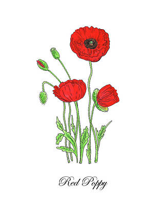 Painting - Botanical Watercolor Of Red Poppy Flowers by Irina Sztukowski