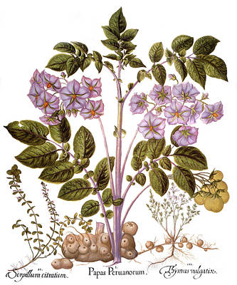 Drawing - Botany, Potato Plant by Granger