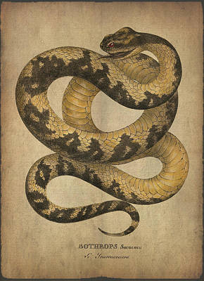 Boa Constrictor Drawing - Bothrops Surucucu by Sergey Lukashin
