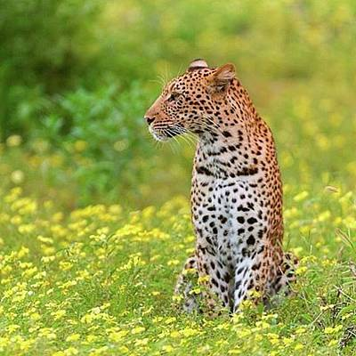 Animals Photos - Botswana Leopard  by Happy Home Artistry