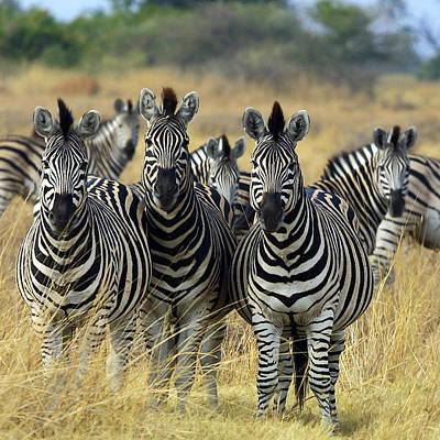 Of Zebras Photograph - Botswana Zebra by Ellen Henneke
