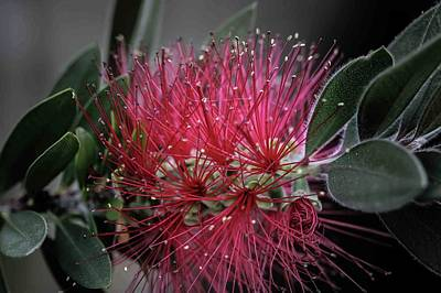Photograph - Bottle Brush by David March