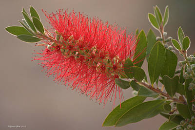 Photograph - Bottle Brush Flower by Suzanne Stout
