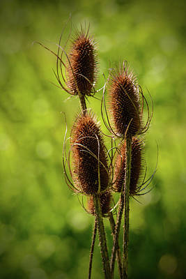 Photograph - Bottle Brush Sedge by Tikvah's Hope