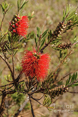 Photograph - Bottlebrush 1 by Werner Padarin