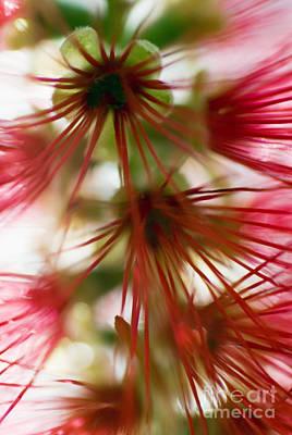 Crimson Bottlebrush Photograph - Bottlebrush Abstract by Ray Laskowitz - Printscapes