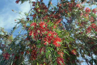 Photograph - Bottlebrush  Blossoms by Aimee L Maher Photography and Art Visit ALMGallerydotcom