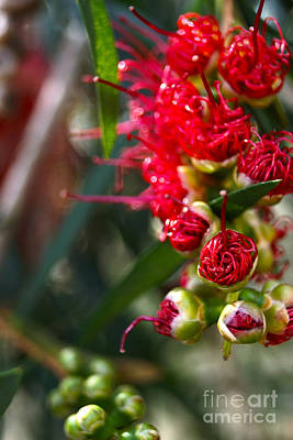 Photograph - Bottlebrush by Cassandra Buckley