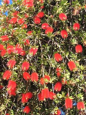 Photograph - Bottlebrush by Erika Chamberlin