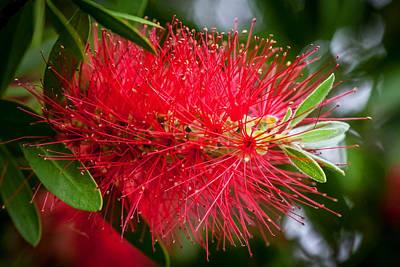 Crimson Bottlebrush Photograph - Bottlebrush Tree Callistemon Painted 2 by Rich Franco