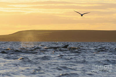 Photograph - Bottlenose Dolphin At Sunset - Scotland  #17 by Karen Van Der Zijden