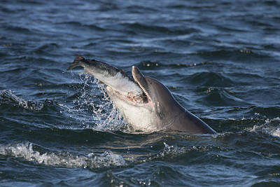 Photograph - Bottlenose Dolphin Eating A Salmon - Scotland #5 by Karen Van Der Zijden