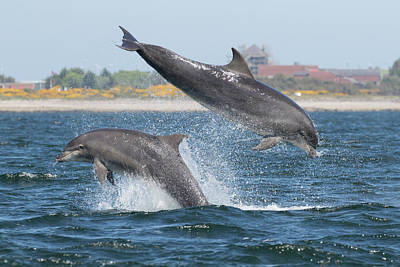 Art Print featuring the photograph Bottlenose Dolphin - Moray Firth Scotland #48 by Karen Van Der Zijden