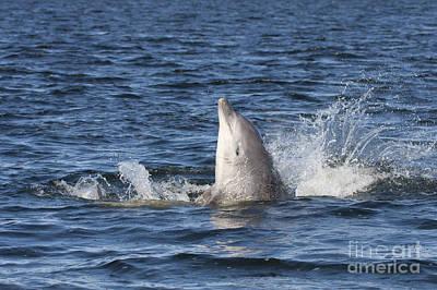 Photograph - Bottlenose Dolphin - Scotland  #27 by Karen Van Der Zijden