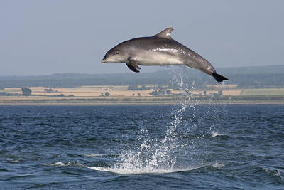 Photograph - High Jump - Bottlenose Dolphin  - Scotland #42 by Karen Van Der Zijden