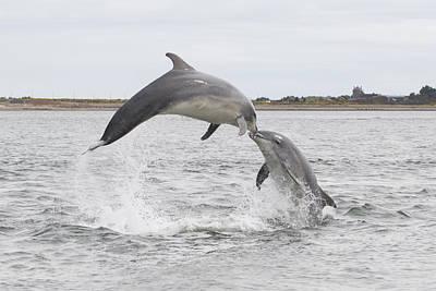 Photograph - Bottlenose Dolphins - Scotland #1 by Karen Van Der Zijden