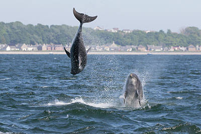 Photograph - Bottlenose Dolphins - Moray Firth Scotland #46 by Karen Van Der Zijden