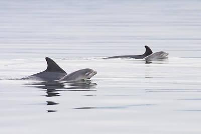 Photograph - Mothers And Babies - Bottlenose Dolphins - Scotland #2 by Karen Van Der Zijden