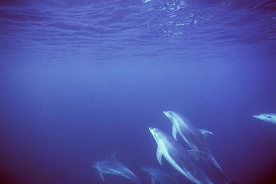 Bottlenose Dolphins Swimming In Open Art Print by James Forte