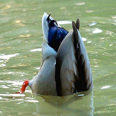 Photograph - Bottom's Up Dabbling Duck by Tracey Harrington-Simpson