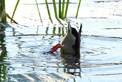 Photograph - Bottoms Up Duck - Wildlife by Marie Jamieson
