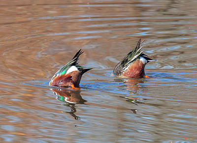 Photograph - Bottoms Up--male Northern Shovelers Dabbling Dwf0145 by Gerry Gantt
