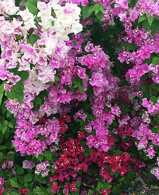 Photograph - Bougainville Flowers In Hawaii by Karen Nicholson