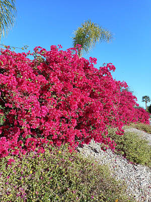 Bougainvillas 3 Art Print by Ron Kandt