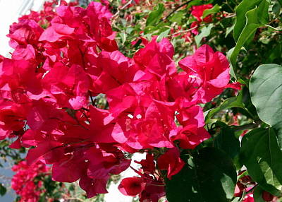 Photograph - Bougainville In The Turks And Caicos by Laurel Talabere