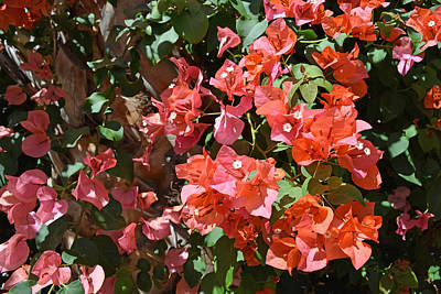 Photograph - Bougainvillea by Aimee L Maher Photography and Art Visit ALMGallerydotcom