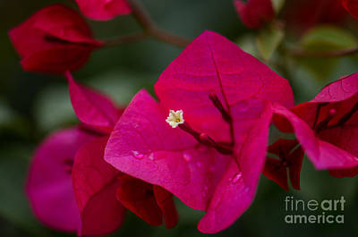 Photograph - Bougainvillea by Amy Porter