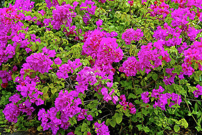 Photograph - Bougainvillea And Foliage II by Robert Meyers-Lussier