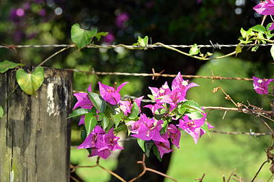 Photograph - Bougainvillea Bedecked Rural Fence by Carla Parris