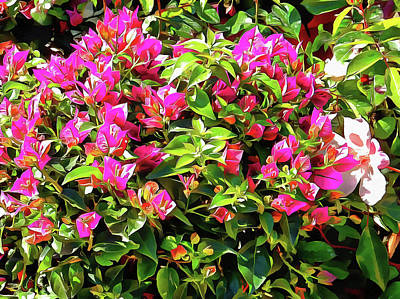 Photograph - Bougainvillea Bounty by Dorothy Berry-Lound
