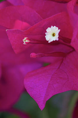 Photograph - Bougainvillea Close-up by Paul Rebmann