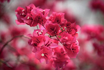 Photograph - Bougainvillea Flowers by Brenden King
