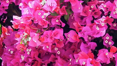 Photograph - Bougainvillea by Geoff Smith