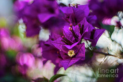 Photograph - Bougainvillea Glabra Genoves Park Cadiz Spain by Pablo Avanzini