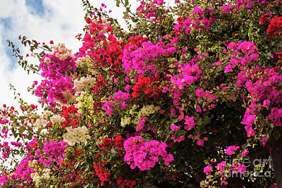 Photograph - Bougainvillea In Funchal by Eva Lechner