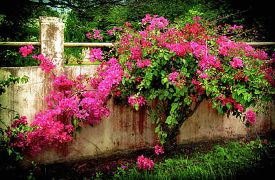 Photograph - Bougainvillea In The Costa Rican Countryside by Carolyn Derstine