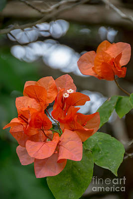 Photograph - Bougainvillea In The Jungle by Cheryl Baxter