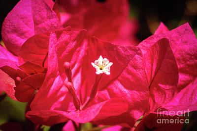 Photograph - Bougainvillea Macro by Robert Bales