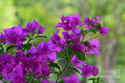 Photograph - Bougainvillea Morning by Maria Urso