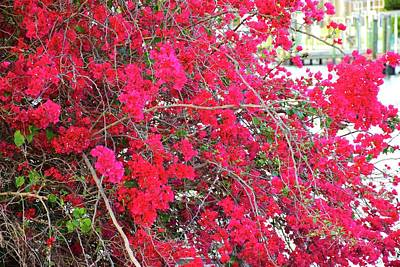 Photograph - Bougainvillea Rush by Florene Welebny