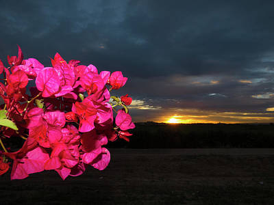 Photograph - Bougainvillea Sunrise by Kimo Fernandez