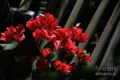 Art Print featuring the photograph Bougainvilleas by Edward R Wisell