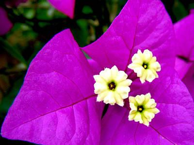 Photograph - Bouganvilla Blooms by Adam Johnson